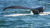 Whales_Humpback_2010910  020