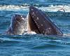 Whales_Humpback_2010910  043