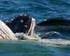 Whales_Humpback_2010910  099