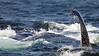 Whales_Humpback_2010910  008