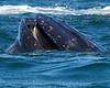 Whales_Humpback_2010910  045