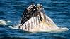 Whales_Humpback_2010910  095