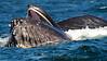 Whales_Humpback_2010910  072