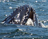 Whales_Humpback_2010910  033