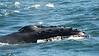 Whales_Humpback_2010910  031