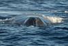 Maui Whales Feb 2011  150