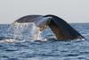 Maui Whales Feb 2011  039