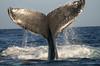 Maui Whales Feb 2011  134