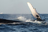 Maui Whales Feb 2011  068