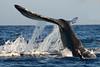 Maui Whales Feb 2011  146