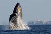 Maui-Whales_20150129  104