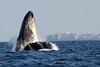 Maui-Whales_20150129  100