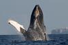 Maui-Whales_20150129  107