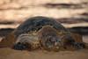 Turtle - Maui 1 19 2014  072