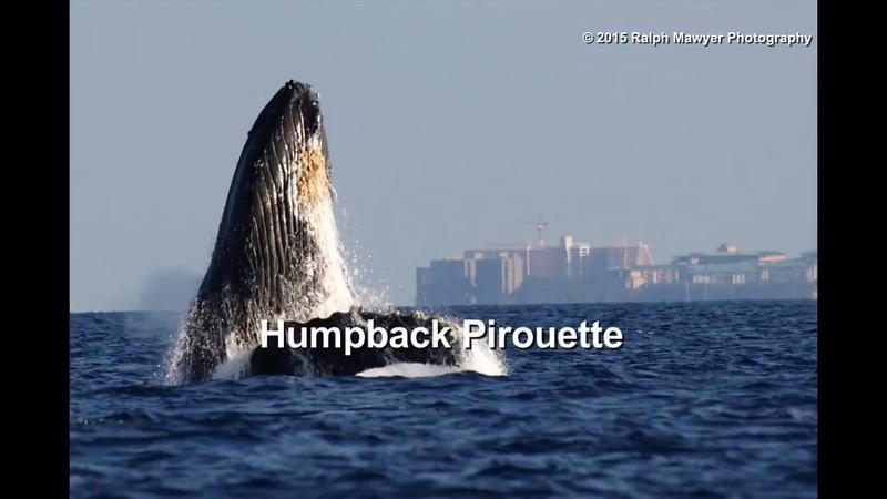 Humpback Pirouette