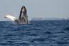 Maui-Whales_20150129  108