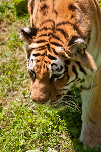 I like to get tiger pictures here, it's just too bad that they're all from above!