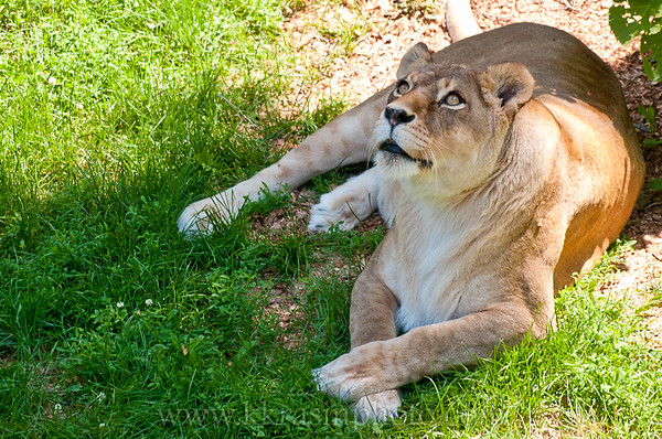 There was another lioness outside