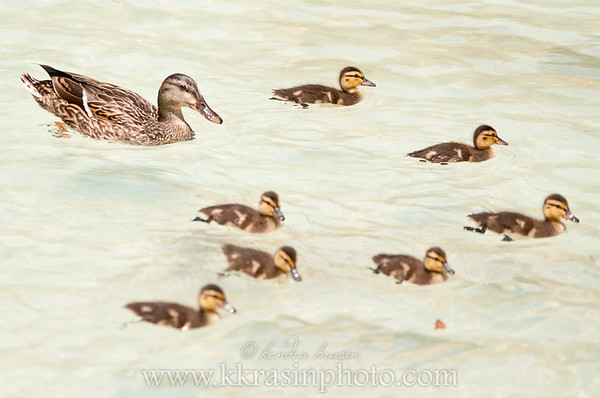 There were a lot of baby ducks this trip!