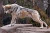 Stretching wolf