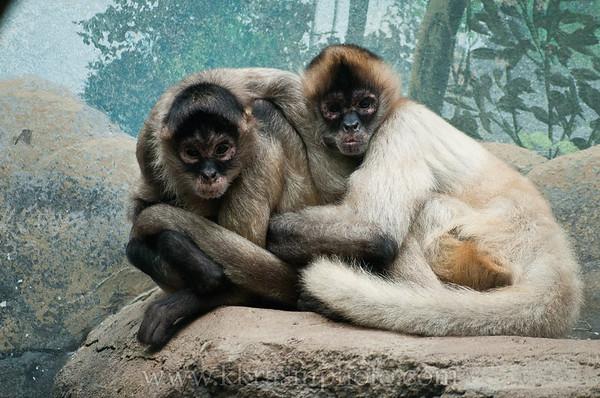 A protective monkey