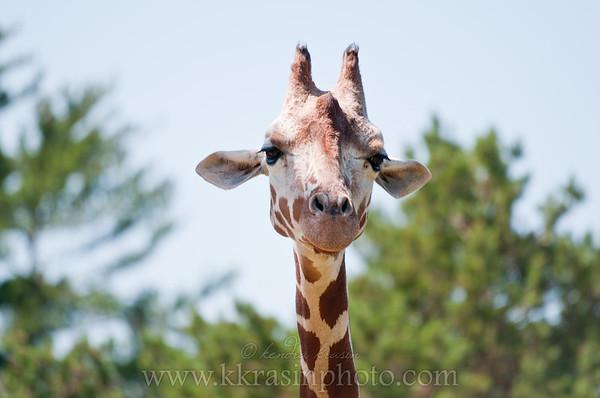 The giraffe's face is so cute