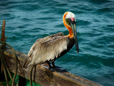 Pelican - St. Croix, Virgin Islands