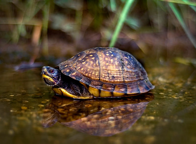Box Turtle - Biloxi, MS