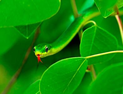 Green Snake, Biloxi, MS