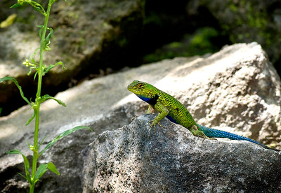 Emerald Swift - San Juan La Laguna, Guatemala