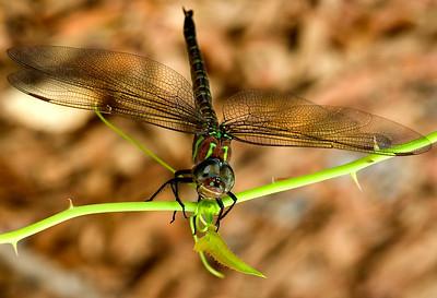 Dragonfly, Biloxi, MS