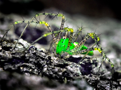 Green Lynx Spider - Biloxi, MS