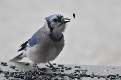 This blue jay was only about 20' away, but this was taken through the glass on our front door.