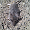 dead mouse. fresh too!