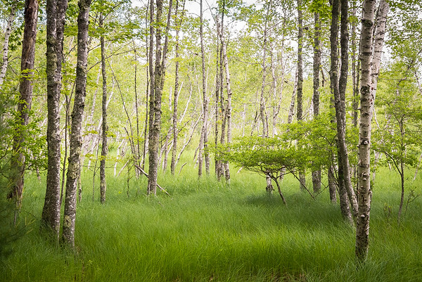 Soft Meadow and Birches