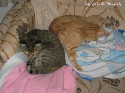 January 23, 2005  Akira and O'Malley sleeping on the couch.  O'Malley is sucking his back toes in this picture.