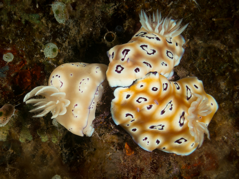Looks like Hypselodoris tryoni however the leopard spots are rings
