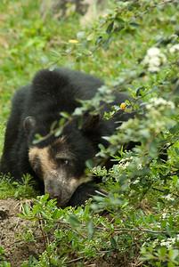 South American Bear