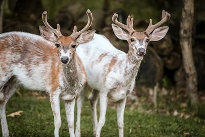 Bashtin-Deer-43