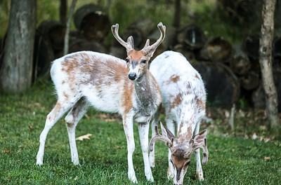 Bashtin-Deer-49