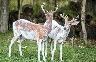 Bashtin-Deer-46