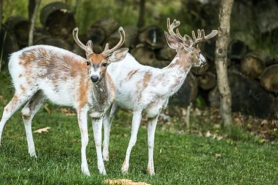 Bashtin-Deer-39
