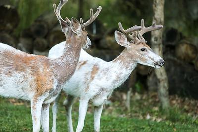 Bashtin-Deer-44