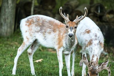 Bashtin-Deer-40
