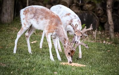 Bashtin-Deer-36