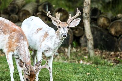 Bashtin-Deer-52