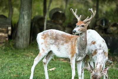 Bashtin-Deer-48