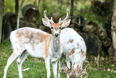 Bashtin-Deer-53