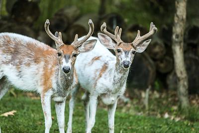 Bashtin-Deer-41