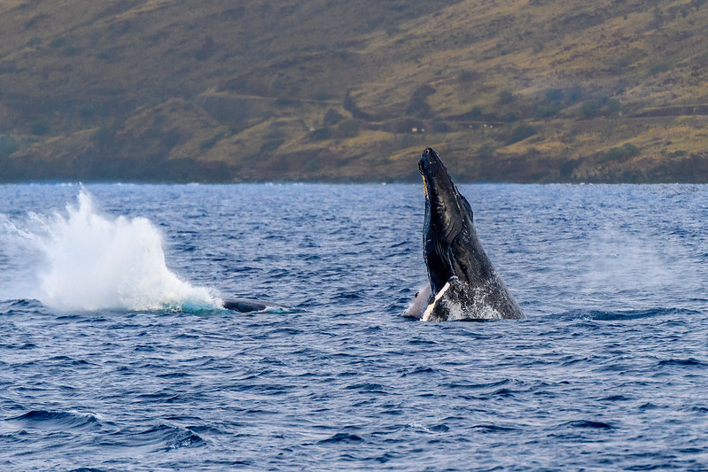 Whale watching on board the Maui Magic